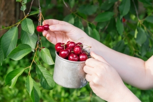 Picking sweet cherries from cherry tree. Woman holding a mug ful